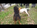 Собачьи бои немецкая овчарка vs аргентинский дог